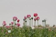 LHQ cảnh báo về sản lượng thuốc phiện cao kỷ lục tại Afghanistan
