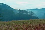 [Photo] Cao nguyên đá Đồng Văn đẹp mê hồn trong mùa hoa tam giác mạch