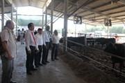 Doanh nghiệp Việt Nam và Nhật Bản hợp tác nuôi bò Waguy