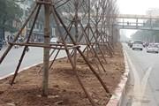Hà Nội thí điểm trồng 100 cây phong lá đỏ tại ba tuyến phố