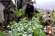 Mưa đá kèm gió lốc gây thiệt hại lớn cho người dân Mộc Châu