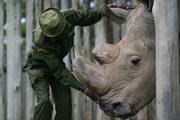 Chú tê giác trắng phương Bắc cuối cùng trên thế giới qua đời