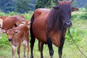 Thanh Hóa: Dân bức xúc vì phải nộp phí khi cho trâu bò ra đồng ăn cỏ