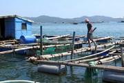 """""""Vương quốc'' tôm hùm Nam Trung Bộ: Làm sao để phát triển bền vững?"""