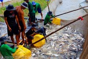 Sau khủng hoảng, ngành cá tra đang trở lại thời kỳ hưng thịnh?