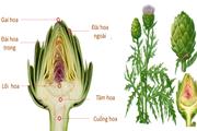 Atisô- loài thảo dược diệu kỳ cho sức khoẻ và sự trẻ hóa