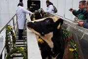 Tập đoàn TH đón đàn bò sữa cao sản HF đầu tiên về trang trại ở Moscow