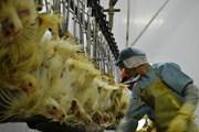 Mở thêm nhà máy chế biến để tăng lượng gà xuất khẩu sang Nhật