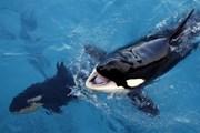 [Video] Lần đầu tiên trong lịch sử, cá voi bắt chước tiếng người