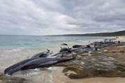 Hàng trăm cá voi chết cùng lúc do mắc cạn tại bờ biển Australia