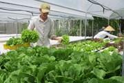 Giá rau tại thành phố Đà Lạt tăng cao do mưa kéo dài