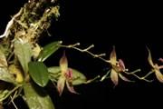 Peru phát hiện loài phong lan mới tại công viên quốc gia thuộc Amazon