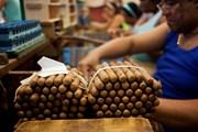 Cuba giữ nguyên mục tiêu sản lượng xì gà bất chấp thiệt hại do mưa bão