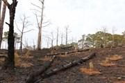Lâm Đồng: Hàng trăm cây thông chết đứng vì bị đổ thuốc diệt cỏ