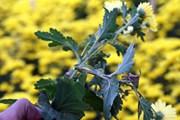 Đà Lạt mất mùa hoa cúc chơi Tết do bệnh lạ không thể cứu chữa