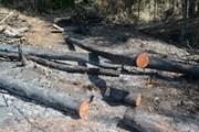 Khởi tố, bắt tạm giam đối tượng chủ mưu phá rừng ở Đắk Nông