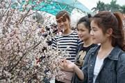 6 tấn hoa anh đào Nhật Bản sẽ về tới Hà Nội trong chiều 19/3