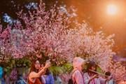 Hoa anh đào bắt đầu bung sắc tại khu vực Tượng đài Lý Thái Tổ