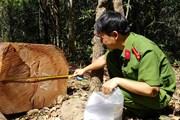 Gia Lai: Kỷ luật kiểm lâm để xảy ra khai thác rừng trái phép
