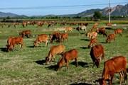 Vụ bò ăn cỏ phải trả phí: Thanh Hóa yêu cầu hoàn trả phí trước 30/4