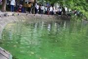 Công ty môi trường đô thị lý giải nguồn gốc váng xanh trên Hồ Gươm