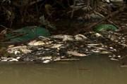 Chưa thể khẳng định nước thải từ tinh bột nghệ làm cá chết ở Nghệ An
