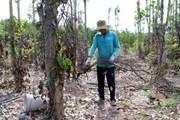 Cục Trồng trọt: Không có việc nông dân phá tiêu còn tốt để bán rễ