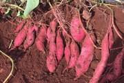 Người nông dân Gia Lai ''mắc kẹt'' với cây khoai lang Nhật