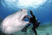 Bị trượt mất miếng mồi ngon, con cá mập trút giận lên thợ lặn