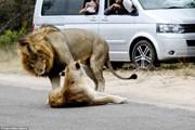 Đôi sư tử mải mê làm 'chuyện ấy' giữa đường, gây ách tắc giao thông