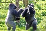 Hai con khỉ đột 'đấu quyền anh' để tranh giành thức ăn