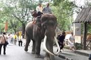 """Chú voi nổi tiếng """"phát điên"""" giết chết người huấn luyện mình"""