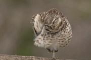 Con cú thu hút sự chú ý khi đứng trên cành cây bằng một chân