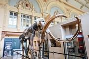 [Video] Bộ xương voi ma mút được bán với giá hơn 600.000 USD