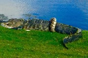 Cá sấu quyết chiến với con trăn khổng lồ ngay trên sân golf