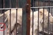 Chú sư tử đáng thương tự cắn đứt đuôi để giải thoát khỏi sự cố hy hữu