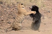 [Video] Gấu mẹ chiến đấu quật cường với hổ dữ để bảo vệ con