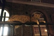 Con mèo may mắn sống sót dù bị 3 thanh thép đâm ngang thân
