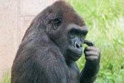 [Video] Con khỉ đột thích đi bằng hai chân như người vì sợ bẩn tay