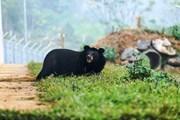 Những cá thể gấu đầu tiên bước ra tự nhiên sau gần 20 năm bị nuôi nhốt