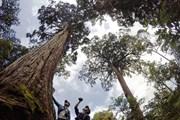 [Video] Độc đáo rừng cây pơmu cổ thụ với muôn kiểu hình thù kỳ lạ