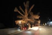 Xe chở cây 'quái thú' nghênh ngang trên Quốc lộ 1, Bộ chủ quản nói gì?
