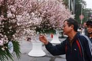 7.000 cành hoa anh đào Nhật Bản sẽ khoe sắc tại thành phố Hải Phòng
