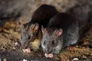 [Video] Loài chuột lan tràn khắp Paris, số lượng đông hơn người