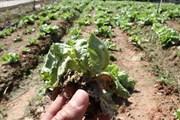 Virus tấn công vườn rau, gây thiệt hại nặng cho nông dân Đà Lạt