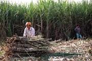 Tây Nguyên loay hoay tìm lối đi cho cây mía trước sức ép hội nhập