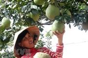 Nam Bộ chuyển đổi 35.000ha lúa sang trồng hoa màu, cây ăn quả