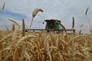 Các nhà khoa học lần đầu tiên giải mã toàn bộ hệ gen lúa mì