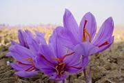 """Saffron – """"Vàng đỏ"""" làm đẹp của Iran chính thức phân phối ở Việt Nam"""