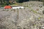 Nở rộ xu hướng du Xuân đến vùng núi Tây Bắc thưởng hoa rừng